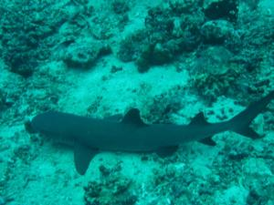 grey tip reef shark
