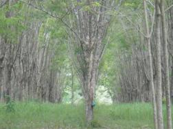 amidst rubber trees in Phuket