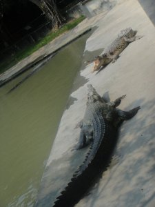 Crocodile feeding frenzy
