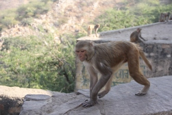 monkey temple jaipur