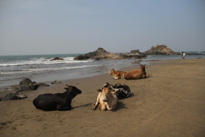Cows lounging on Vagator beach