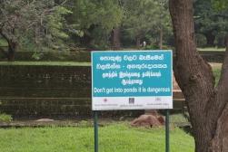 Crocodiles about at Sigiriya, Sri Lanka
