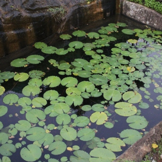 Lily pond at the the top of Sigiriya, Sri Lanka