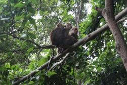 Monkeys at Sigiriya, Sri Lanka